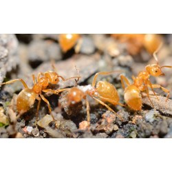 Small Crop Of Tiny Red Ants
