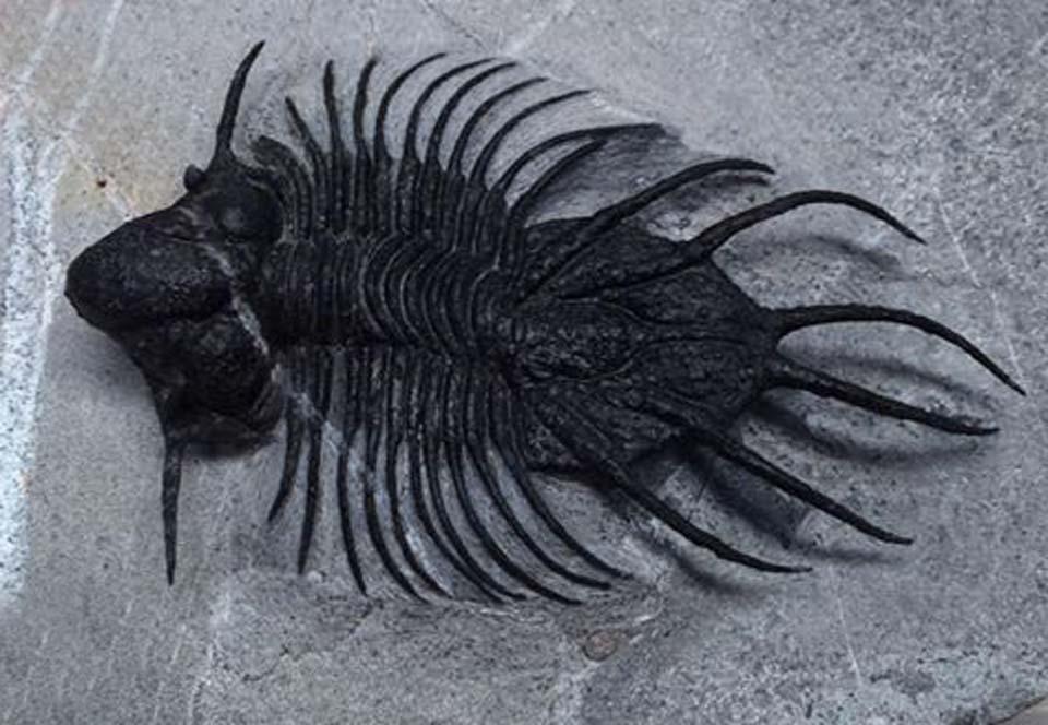 Museum quality fossil triobite fossils