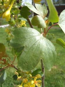 Ribes aureum foliage - California Supplemental Exam for Landscape Architects