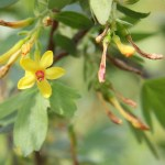 Ribes aureum - Golden Currant - California Supplemental Exam for Landscape Architects