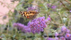 Buddleia davidii — Butterfly Bush - California Supplemental Exam for Landscape Architects