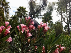 Nerium oleander - Oleander - California Supplemental Exam for Landscape Architects