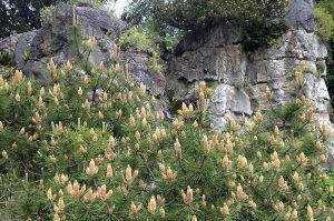 Pinus mugo pumilio - Mugo Pine - California Supplemental Exam for Landscape Architects - grow under oak trees