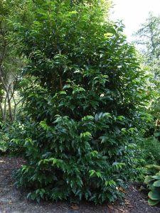 Prunus lusitanica — Portugal Laurel - California Supplemental Exam for Landscape Architects