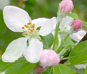 Flor manzano