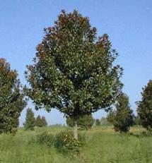 Magnolia - Semilla de magnolia ...