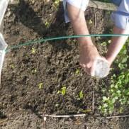 Repiquage des salades aux Murs à Pêches