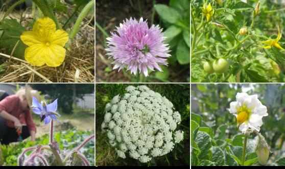 Fleur de concombre, fleur de ciboulette, fleurs et fruits de tomate Fleur de bourrache, fleur de carotte, fleur de pomme de terre