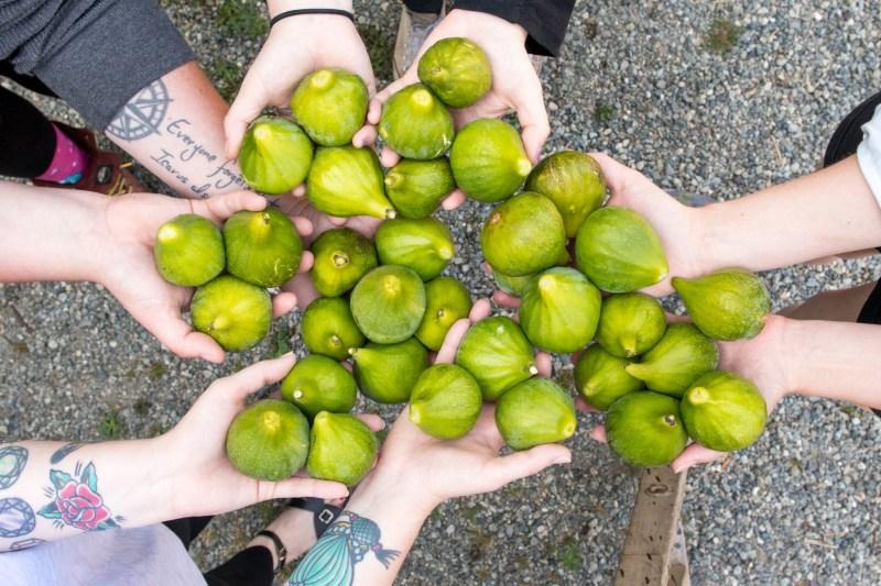 Large Of Desert King Fig