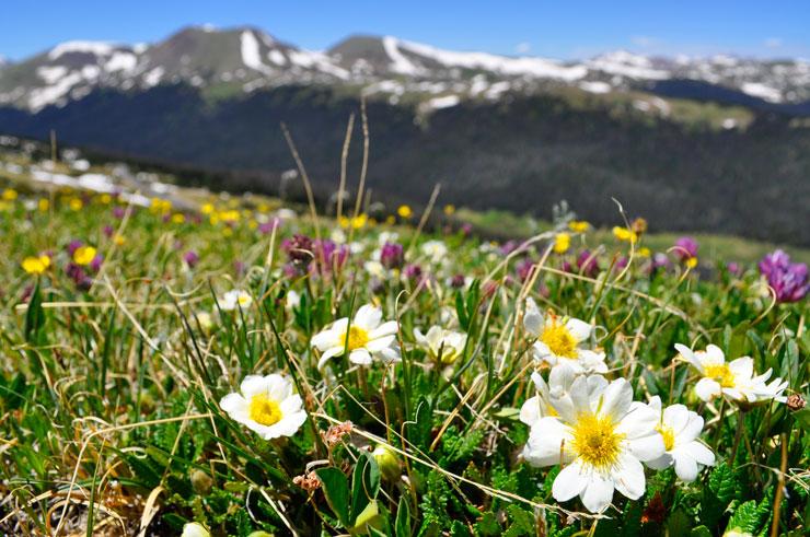 Wildflowers at Rocky Mountain National Park   www.cupcakesandthecosmos.com