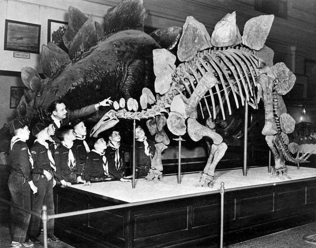 """""""Record Unit 95, Box 44A, Folder 14""""; """"A group of Cub Scouts are being shown the skeleton of a Stegosaurus dinosaur, which is part of the Paleontology Exhibition in the United States National Museum's (USNM) Natural History Building (NHB), now known as the National Museum of Natural History."""""""