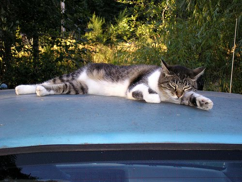cat on car roof by photogril17 at flickr