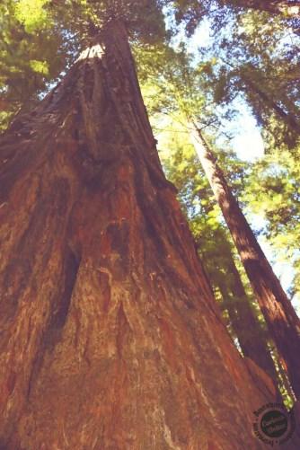redwood forest tree - west coast road trip
