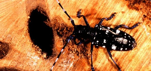 Asian Longhorned beetle (Photo courtesy of the Dept. of Natural Resources)