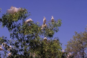 cockatoos in the outback