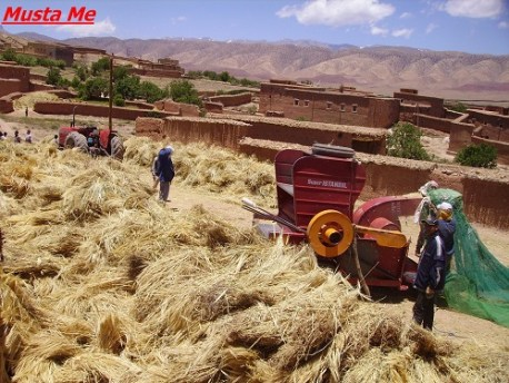 موسم الحصاد بواحة مكون بين الأمس و اليوم..عادات في طور الانقراض