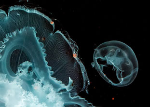 Selected for Flickr's Explore Page: jellyfish