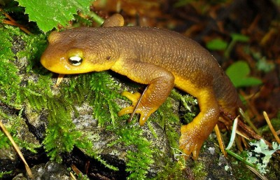 Newts, like the one pictured above, are native to California and will be making their annual journey back to the pond of their birth in order to mate and are prompting road closure in Tilden Park to ensure their safe migration.