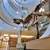 T Rex at Museum of Vertebrate Biology