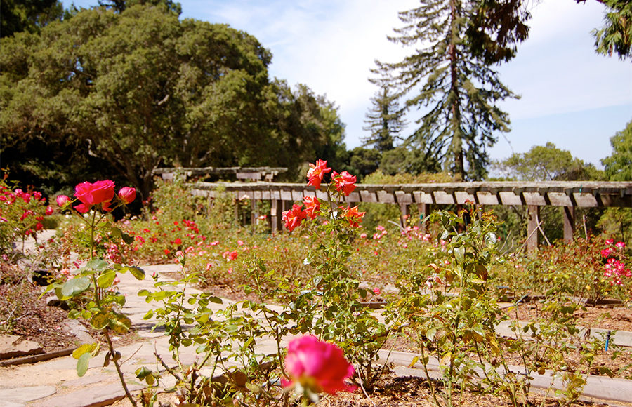 Berkeley rose garden undergoes restoration project the Berkeley rose garden