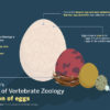 coloredited_eunicechung_eggs_infographic