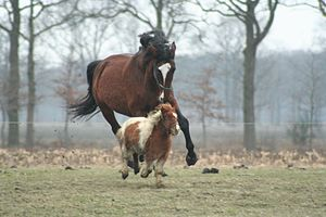 Size varies greatly among horse breeds, as wit...