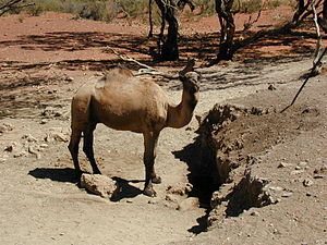 Camel at wilbia - severe degradation