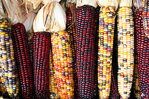 English: Cobs of corn (Photo credit: Wikipedia)