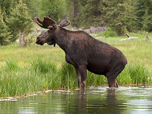 Bull moose browses beaver pond near Grand Tetons