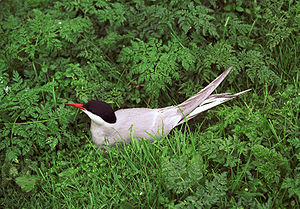 Arctic Terns breed in the arctic and subarctic and winter in Antarctica. (Photo credit: Wikipedia)