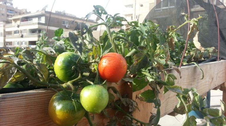 Tomatoes grown in a rooftop farm (Photo courtesy Schaduf Facebook page)