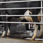 Robots Take Over the World… Well Maybe Just Milking Cows