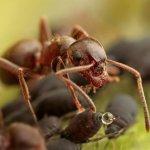 Ants Milk Aphids