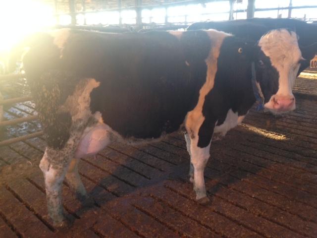 2 year old Enrico (Fleckvieh) X Holstein. 95 lbs/day 3.9% fat 3.2% protein