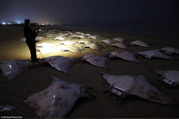 "Seorang polisi Palestina melihat-lihat ikan pari jenis ""Mobula Rays"" yang terdampar di Pantai Gaza, dini hari 27 Februari 2013. (Xinhua/Photoshot)"