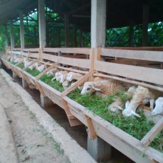 Hewan Qurban di Kampoeng Ternak Nusantara Siap Didistribusikan ke Seluruh Pelosok Negeri (foto: DD)