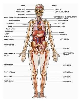 Ilustrasi - Anatomi tubuh manusia. (inet)