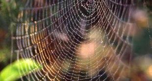 Jaring sarang laba-laba Zygiella. (phys.org)