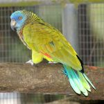 Good News? St. Lucia's Jacquot Parrot on the rebound  (St Lucia News)