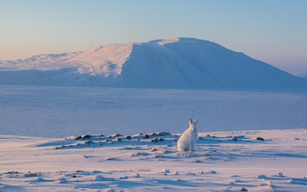 Arctic Hare on Ellesmere Island on the shore of Slidre Fjord