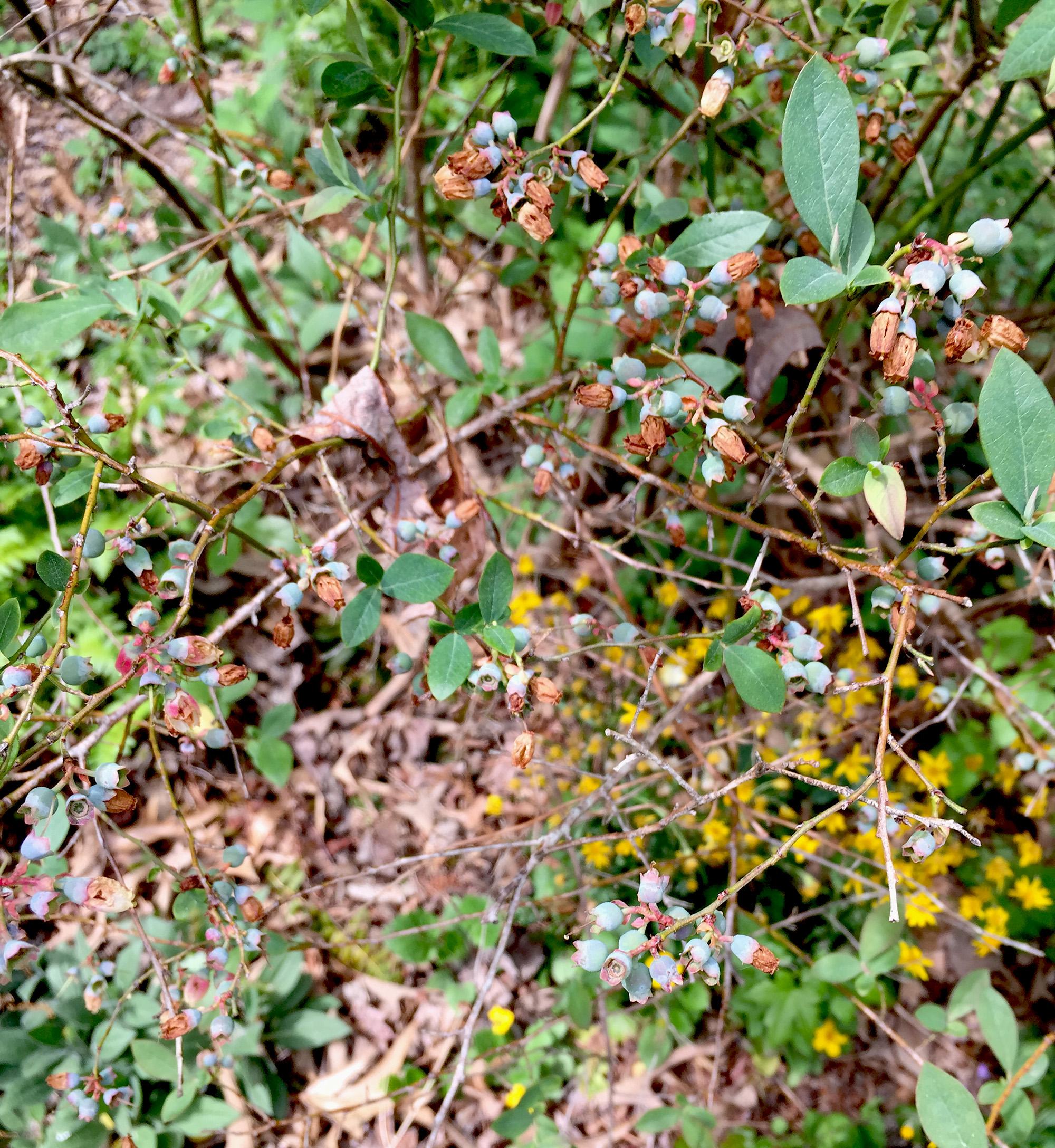 Tiny blueberries, Asheville Botanical Garden / Darker than Green