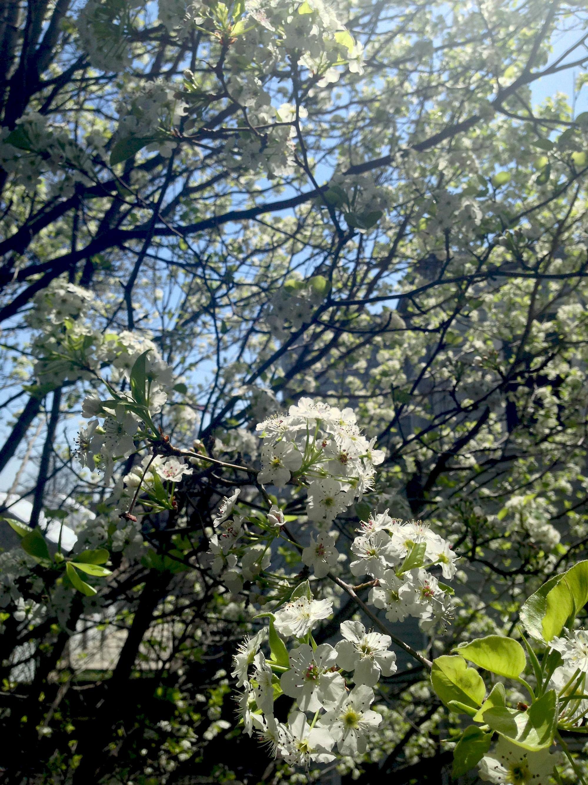 Flowering Callery Pear tree / Darker than Green