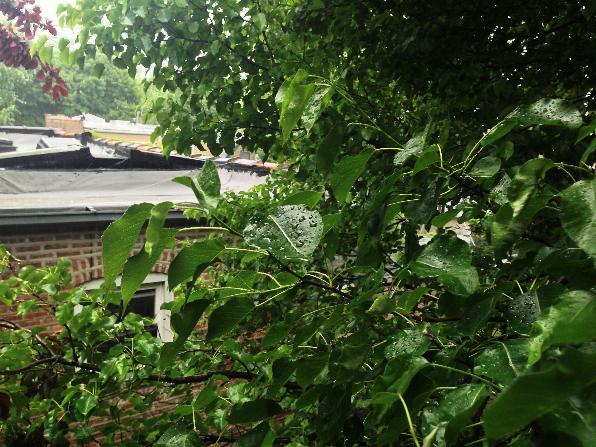 Callery Pear tree in the rain / Darker than Green