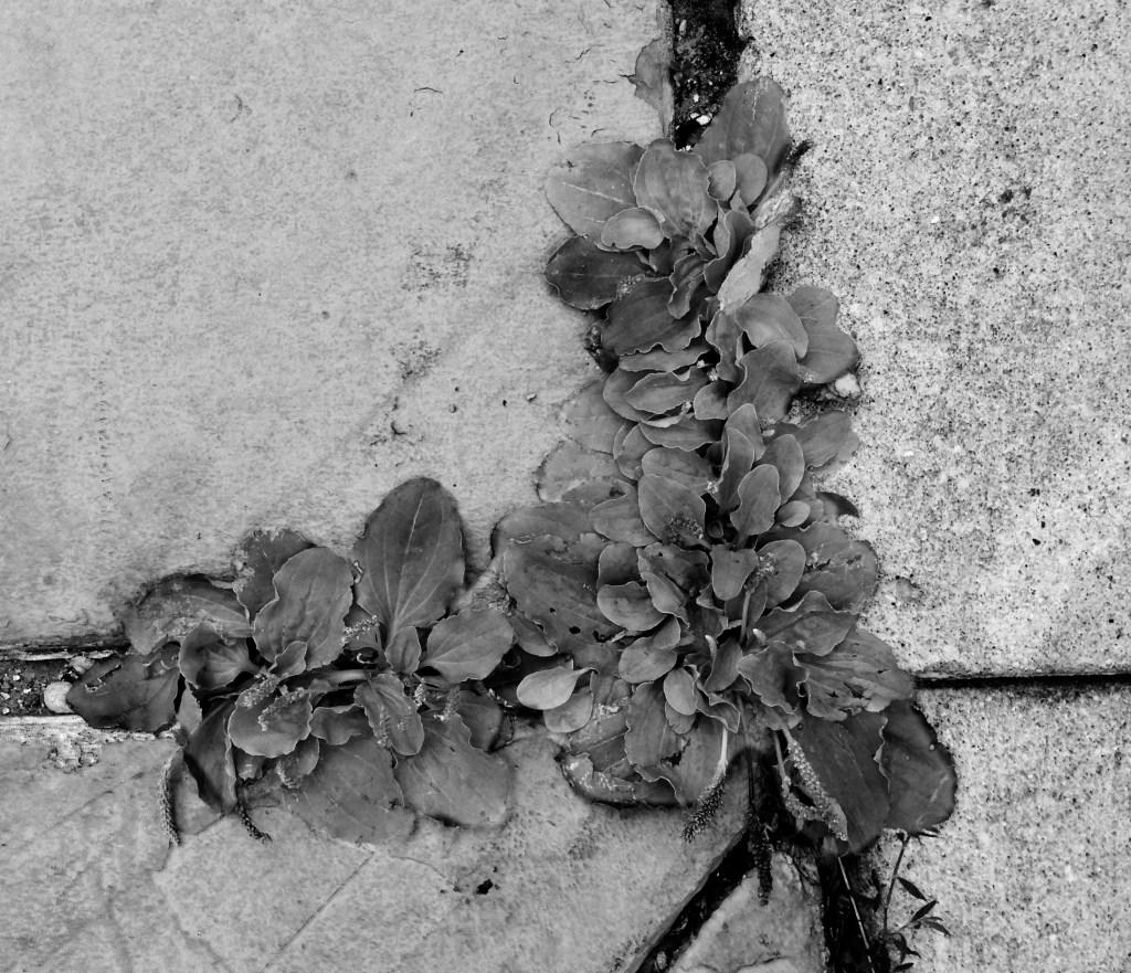 Wild plantain / Darker than Green