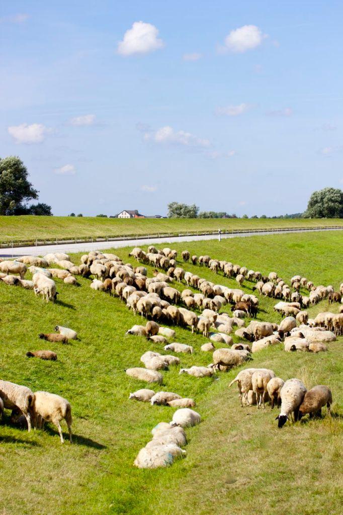 Feta-Käse-Schaf-Herde
