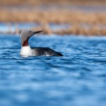 How Many Fish Does it Take to Grow a Loon?