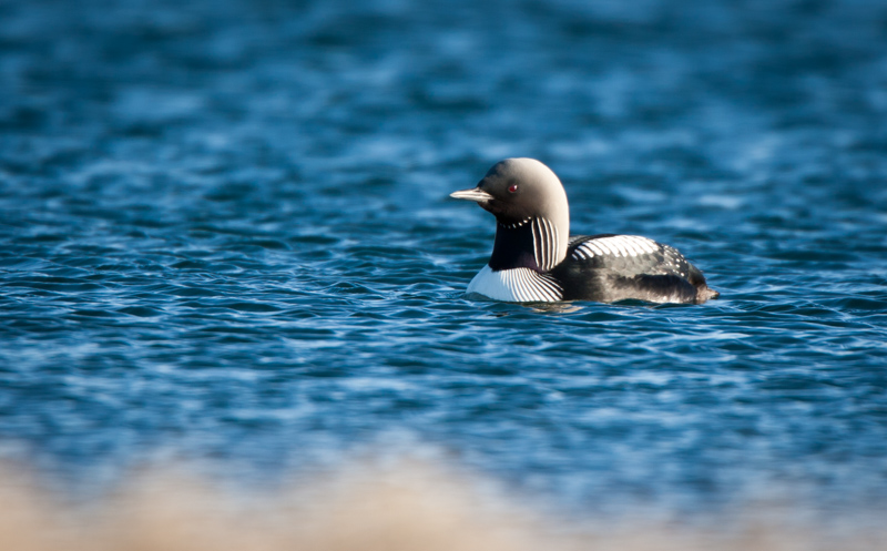 A Pacific Loon floats on a lake on the coastal plain of the Arctic National Wildlife Refuge.
