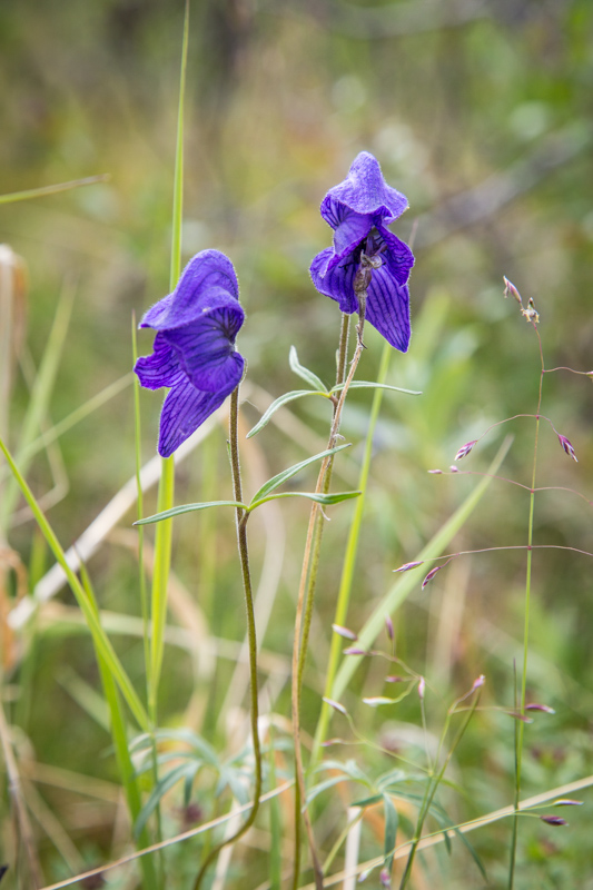 Monkshood (Aconiyum delphinifolium) is one of my favorites because it blooms late into the season. But if you are feeling peckish, this isn't a wild plant to snack on, it could kill you.
