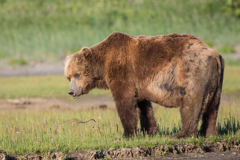 A male Brown Bear in Katmai National Park. (This guy had just woken up from a nap).