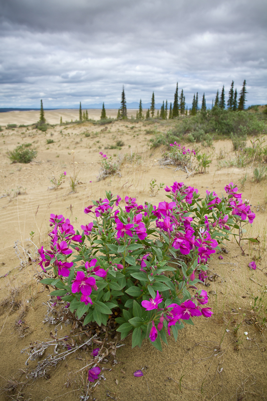 Dwarf Fireweed blooms in the Great Kobuk Sand Dunes in Kobuk Valley National Park. This weird spot is home to species of plants found no where else.